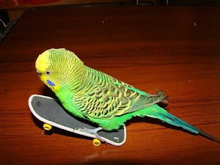 funny bird photos budgie riding a mini skateboard on two wheels stunt rider