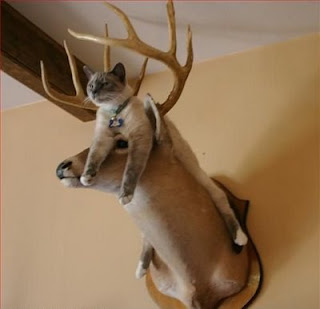 really funny cat photo resting on deer head mounted on wall classic pic