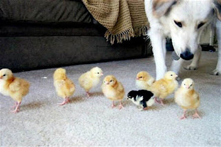 funny animals cute labrador dog photo taking care of yellow chicks and one black and white chick odd one out