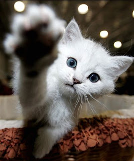 funny animal photos really cute blue eyes kitten pawing at camera