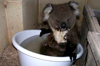 young baby koala cute photo hops into bucket for a nice cool bath to escape heat