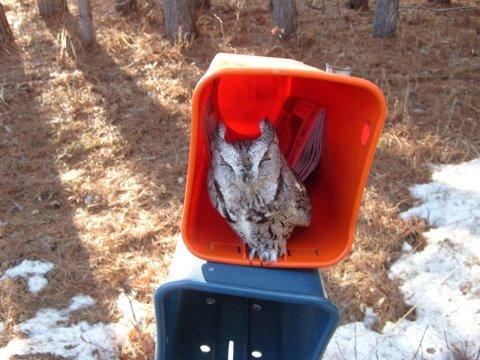 [little+owl]