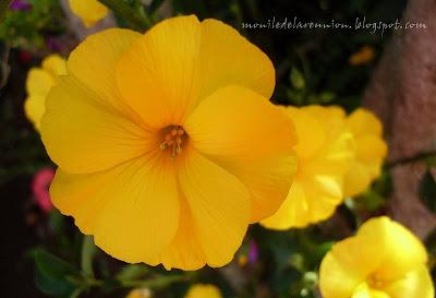 la fleur de Martin du 13 juin trouvée par Martine SDC10844