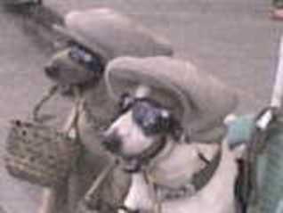 dogs spanging, beggar dogs, panhandle dog