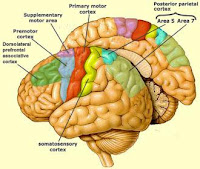 brain anatomy showing primary motor area, premotor cortex,areas 5 and 7