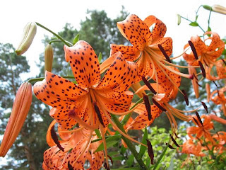 how to make lilly pillys grow faster
