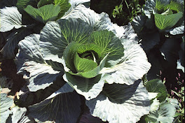 'cabbage'