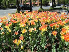 'halifax spring garden tulips'