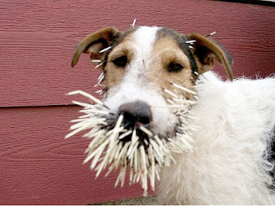 Porcupine Dog http://desposyni.blogspot.com/2008/12/ministry-lesson-here-dog-vs-porcupine.html