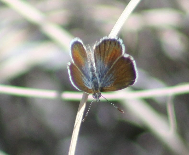 Western pygmy blue butterfly - photo#11