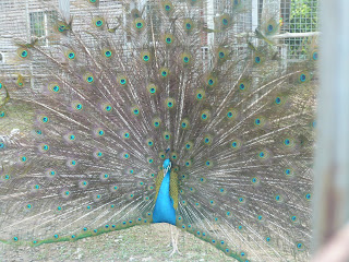 peacock in his full splendor
