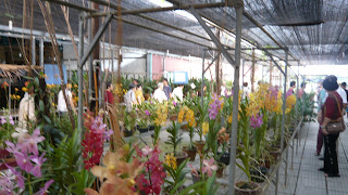 rows of orchid for sale