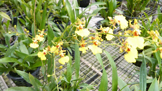 Orchid - golden shower