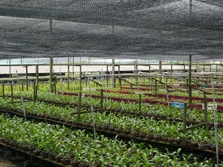 rows of young orchid growing