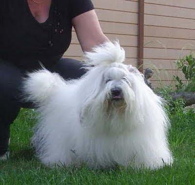 nosyblue élevage canin coton de tuléar chien chiot lof bretagne nantes