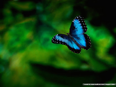 Butterfly Wallpapers 0103