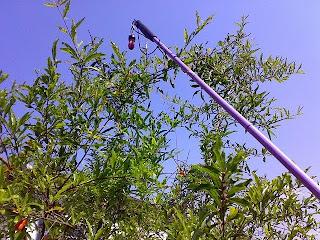 Bengala lilás tocando galhos de amoreira, céu azul de fundo
