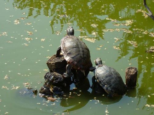 Tarta rughe salvate le tartarughe nel parco di collecchio for Letargo tartarughe acqua