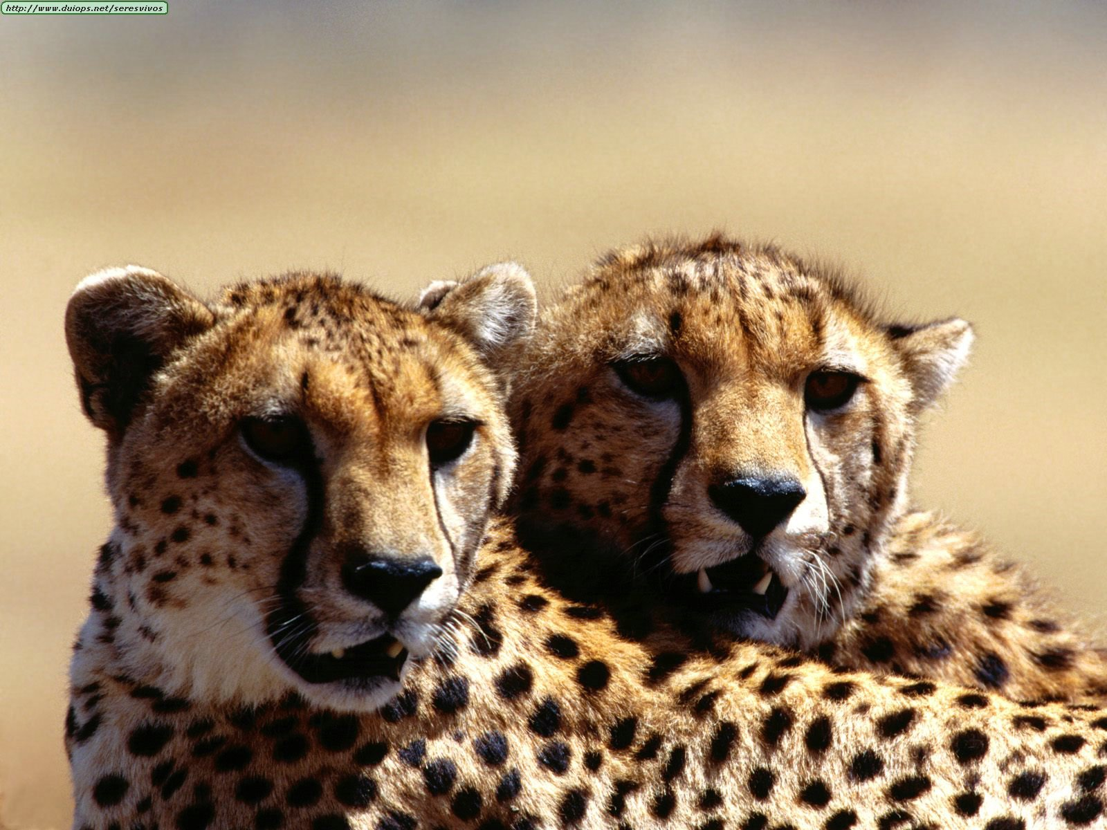 Cheetah Animals