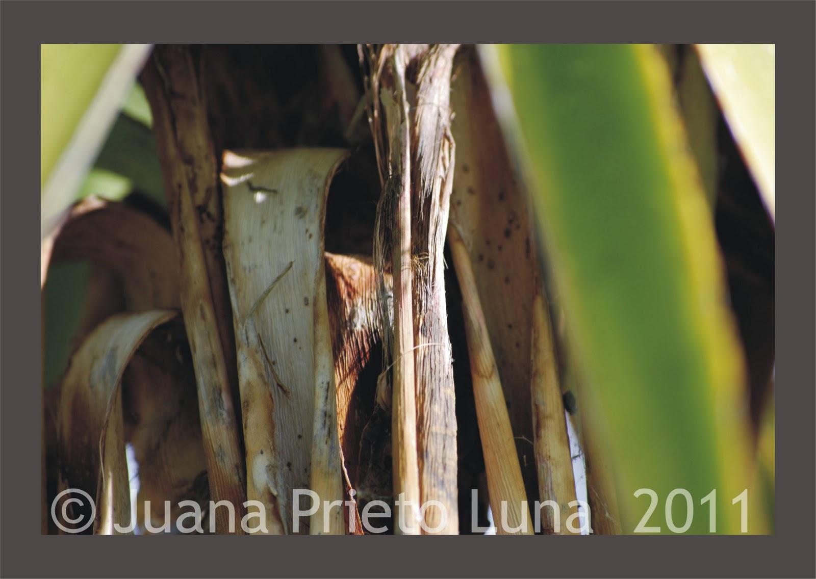 Juana prieto luna lo vegetal - Reproduccion del bambu ...