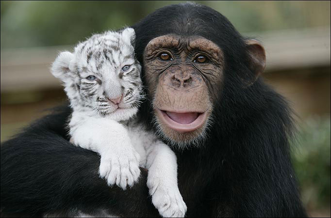 http://2.bp.blogspot.com/_yG2q07ZaG_k/TBDdnDVbz_I/AAAAAAAAAE8/IMBfXiJrjEU/s1600/chimpanzee-and-tiger-best-friends.jpg