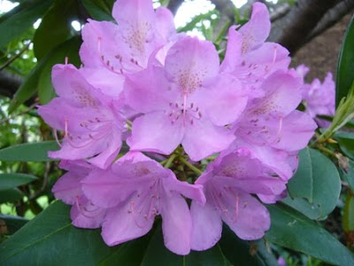 rhododendron in bloom at 2 Green Acres, a garden in Maryland