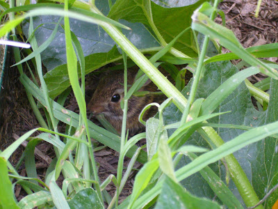 baby rabbit enjoying local food in Maryland organic vegetable garden