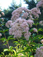 Maryland native Flower - Joe Pye Weed