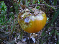 tomato plant with late blight - from the vegtable garden of 2 Green Acres
