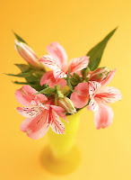 pink peruvian lily on a vase