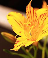 yellow alstroemeria, peruvian lily