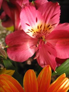 alstroemeria aka lily, peruvian, pink