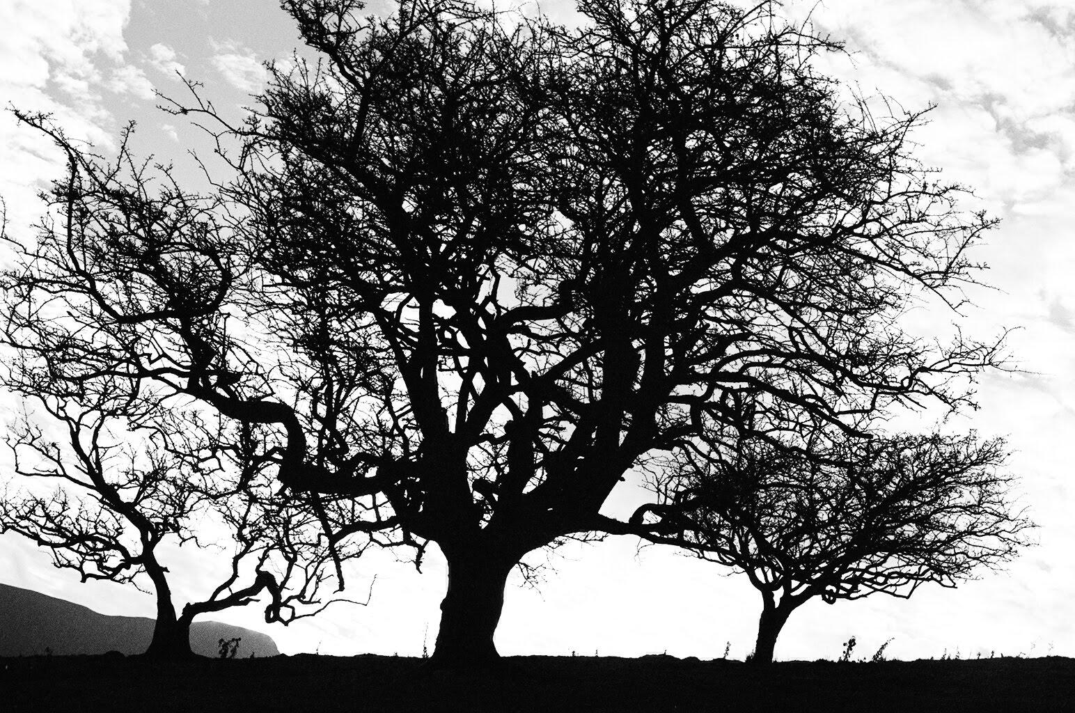 gothic trees   KINA
