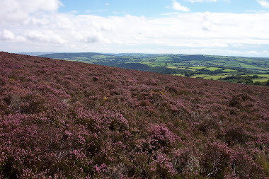 Exmoor Heather - summer