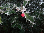 Frosted holly berry
