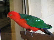 King Parrot at Marysville