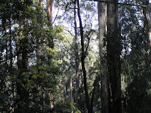 Trees in the Dandenong Ranges