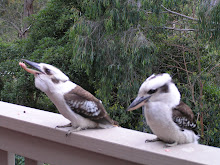Kookaburras visiting our place