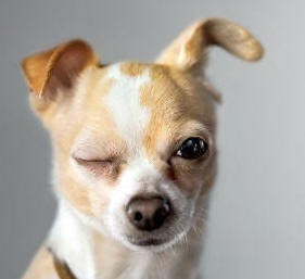 funny small dog breed