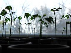 [seedlingsFlickr.jpg]
