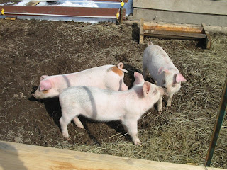 three+little+pigs+Mar+25+08 Life Lessons From a Pig