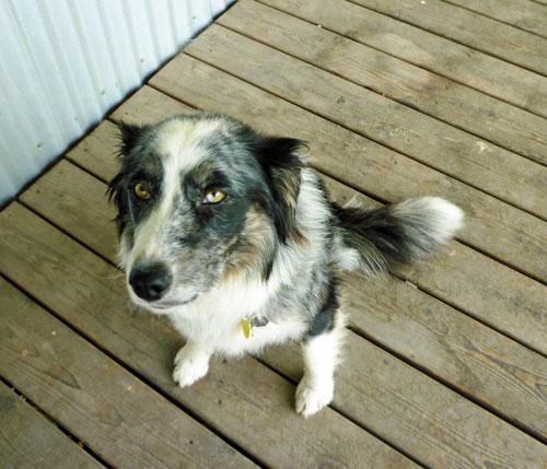 Blue Heeler Australian Shepherd Border Collie Mix Images & Pictures ...