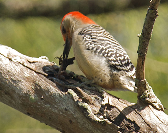 what kind of insects do woodpeckers eat 2