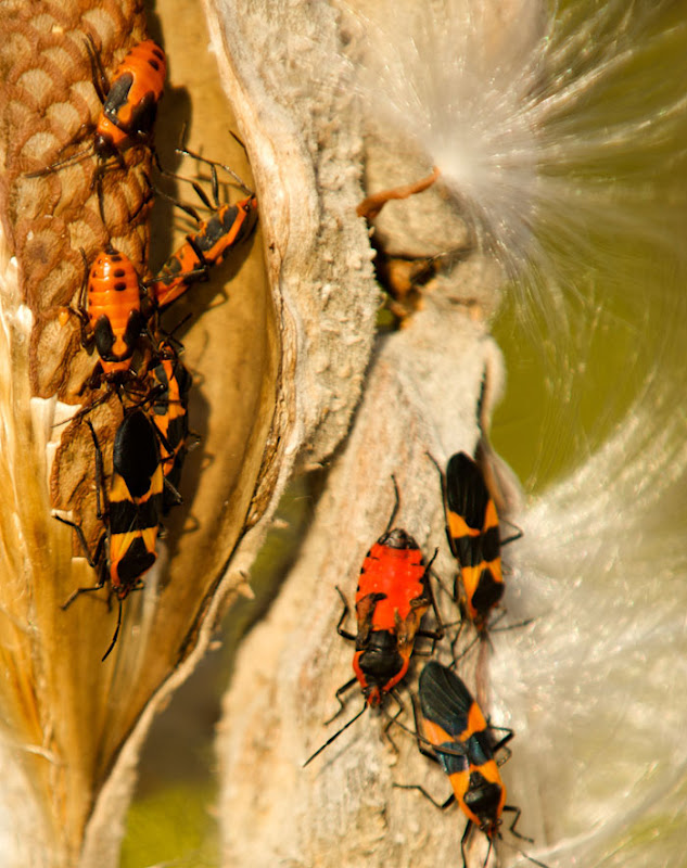 Another view of our adult Milkweed bug's shriveled wings.
