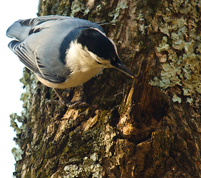White-breasted Nuthatch...part of a small flock foraging along the Little Miami River.