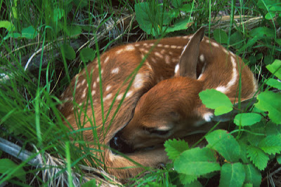Fawn_killed_by_old_lady_with_shovel_death_Bambi_picture