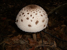 Let Me Introduce You ... Macrolepiota (Parasol)