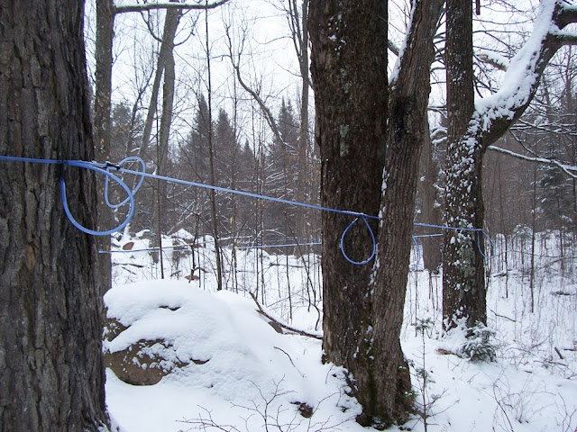 Plastic tubing winds through the forest, collecting the sap drippings from ...