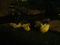 Greenbelt geese