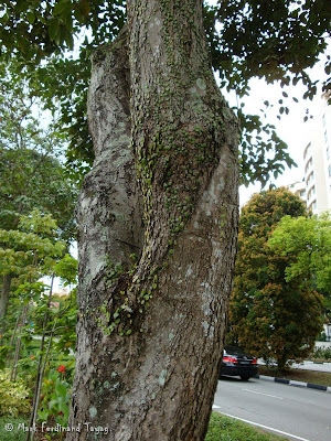 Singapore Trees Picture